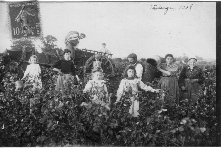 Vendange 1908